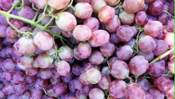 Prueban una técnica de vitivinicultura ecológica
