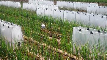 Investigadores simulan el cambio climático en el ajo