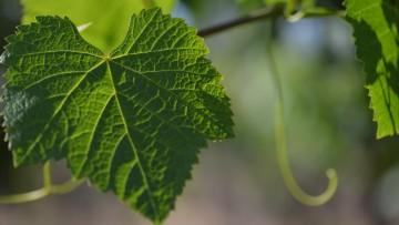 Crean técnica rápida para conocer la salud del vino y la uva