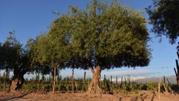 Analizan la contaminación con plaguicidas en viveros de olivo